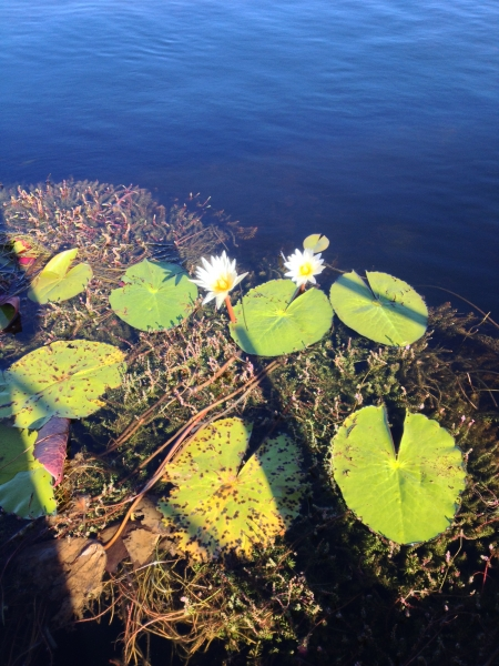 water_lillies_okavango