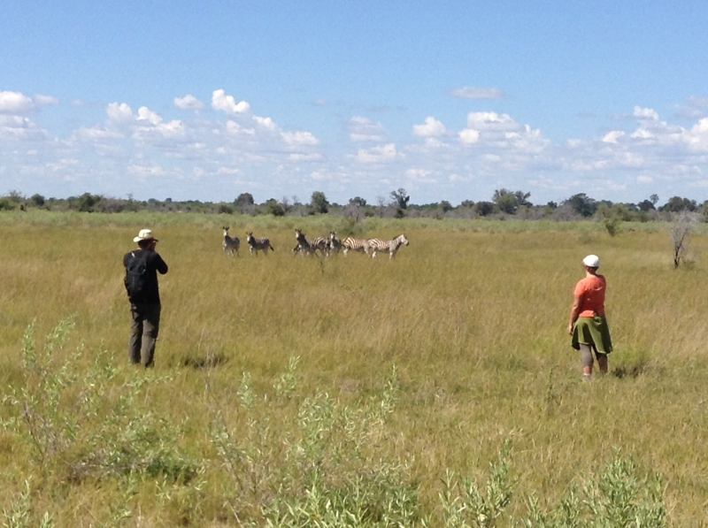 Zebras_okavango