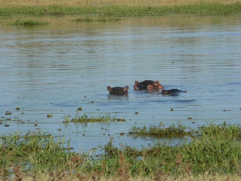 Hippos_black_pools_Moremi