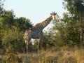 Giraffe_Moremi