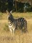 Zebra_Moremi